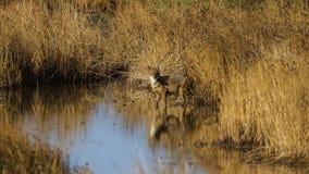 Золотой Jackal в болоте Стоковое Изображение