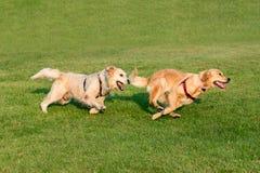 Золотой Retriever 2 бежать на траве стоковые фотографии rf