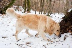 Золотой retriever в снежном лесе Стоковые Фотографии RF