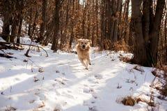 Золотой retriever в снежном лесе Стоковые Изображения RF