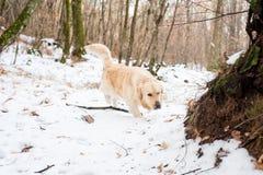 Золотой retriever в снежном лесе Стоковое Фото