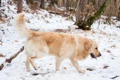 Золотой retriever в снежном лесе Стоковые Изображения