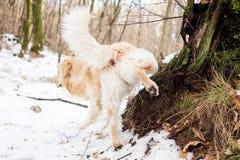 Золотой retriever в снежном лесе Стоковое Изображение