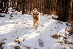 Золотой retriever в снежном лесе Стоковая Фотография RF