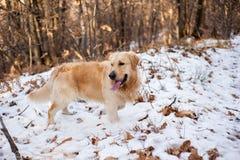 Золотой retriever в снежном лесе Стоковые Фото