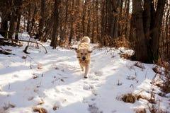 Золотой retriever в снежном лесе Стоковое фото RF