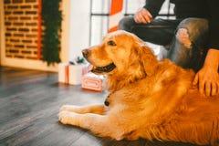 Золотой retriever, labrador лежит рядом с ногами предпринимателя мужчина рука человека штрихуя собаку В интерьере дома дальше Стоковое фото RF