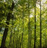 Золото и зеленый shimmer на листьях в лесе старого роста стоковые изображения rf