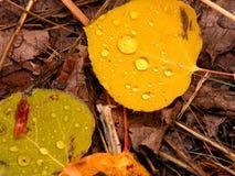 золото осины Стоковая Фотография RF