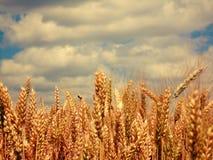 Золото полей Стоковые Фотографии RF