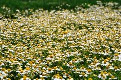 золото поля стоцвета одичалое Стоковые Фото