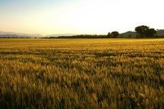 золото поля стоковое фото rf