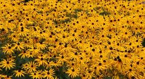золото поля Стоковые Фото