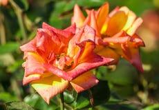 Золото розовой ранга цветка красное, цвет 2 стоковые изображения rf