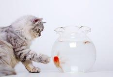 золото рыб кота Стоковое Изображение RF