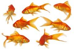 золото рыб Стоковая Фотография RF