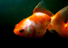 золото рыб Стоковые Фото