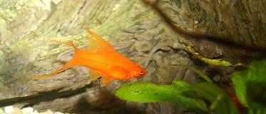 золото рыб Стоковая Фотография