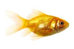 золото рыб Стоковое Изображение