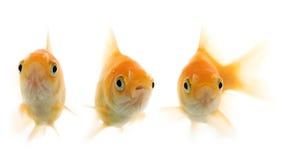 золото рыб стоковые изображения