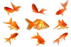 золото рыб Стоковое Изображение RF