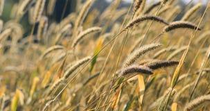 Золотые головы травы в луге 4K видеоматериал