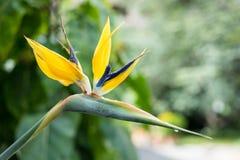 Золотые завод Манделы или цветок птицы рая, reginae strelitzia Стоковые Изображения RF