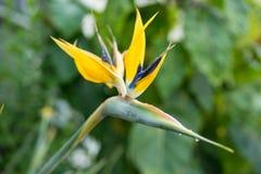 Золотые завод Манделы или цветок птицы рая, reginae strelitzia Стоковые Фотографии RF