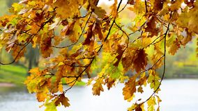 Золотые листья осени пошатывают в ветре над водой акции видеоматериалы