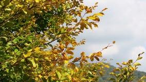 Золотые листья осени развевая на ветре видеоматериал