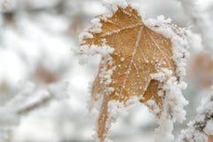 Золотые лист замороженные с снегом стоковая фотография rf