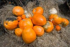 Золотые органические тыквы много определяют размер в ферме Стоковая Фотография