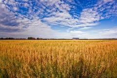 Золотые поля овса Стоковое Фото