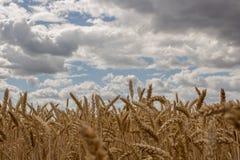 Золотые поля хлопьев против облачного неба Стоковая Фотография
