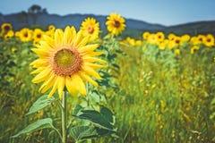 Золотые солнцецветы в поле лета стоковое фото