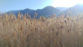 Золотые тростники светя на восходе солнца стоковые фото