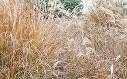 Золотые тростники травы дуя в ветре стоковые изображения