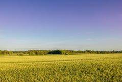 Золотые урожаи над ярким небом Стоковые Фотографии RF