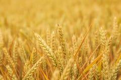 Золотые уши в поле, конец пшеницы вверх Стоковая Фотография RF