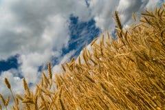 Золотые шипы пшеницы с голубым небом Стоковые Фото