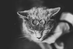 2 золотых обручального кольца с смешным котом Стоковая Фотография RF