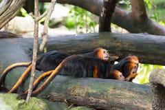 Золот-головый tamarin льва имея их еду Стоковое фото RF