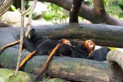 Золот-головый tamarin льва имея их еду Стоковые Фото