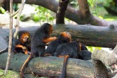 Золот-головый tamarin льва имея их еду Стоковые Изображения