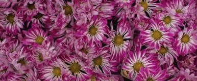 Золот-маргаритки подготавливают для продажи на рынке ` s фермера, романтичной сезонной розовой текстуре цветков Стоковая Фотография