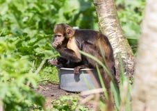 Золот-bellied xanthosternos Cebus Capuchin Стоковые Изображения RF