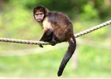 Золот-bellied xanthosternos Cebus Capuchin Стоковое фото RF