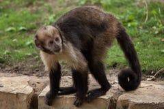 Золот-bellied xanthosternos Sapajus capuchin Стоковые Фото