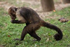 Золот-bellied xanthosternos Sapajus capuchin Стоковые Изображения