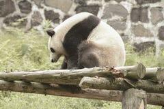 Зона консервации панды, Чэнду стоковые фото